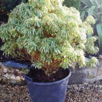 MATURE-SHRUB5