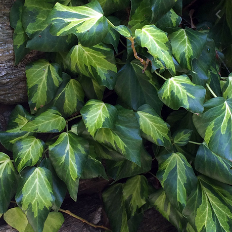 Hedera Sulpher Heart